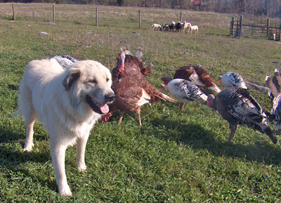 Winston and Turkeys